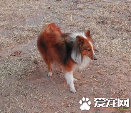 喜乐蒂牧羊犬毛发梳理 从左前腿的最低部开始
