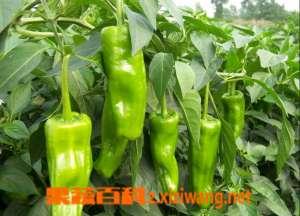 青椒营养价值和食用效果